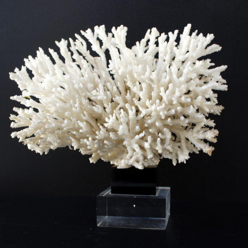 Coral blanco sobre peana de metacrilato