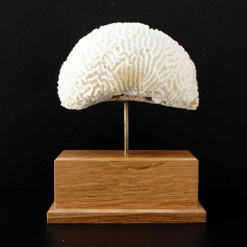 Coral cerebro con peana de madera