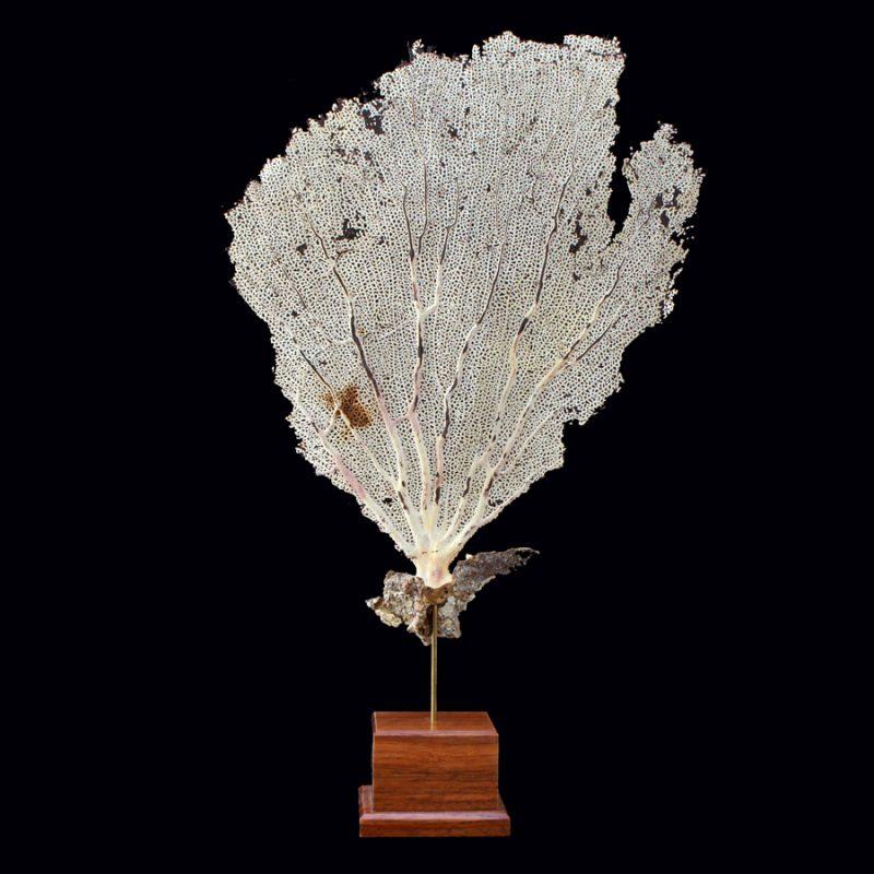 Coral gorgonia sobre peana madera tropical