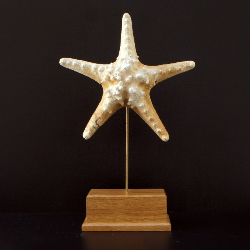 Estrella de mar nudosa grande con peana